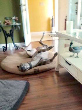 Happy home greyhound